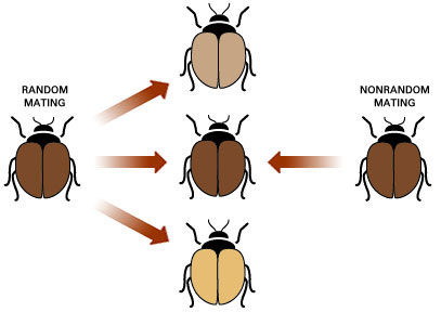 example of non random mating in biology