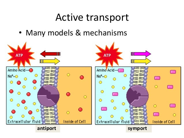 what is not an example of active transport