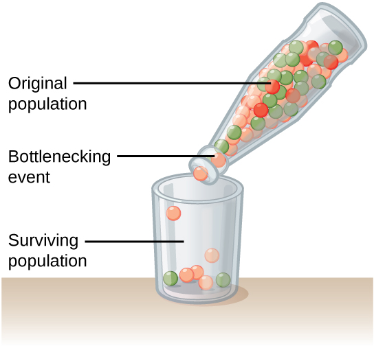 what is an example of the bottleneck effect